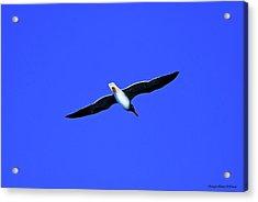 Albatros Acrylic Print by Chaza Abou El Khair