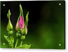 Acrylic Print featuring the photograph Alberta Rose Buds by Darcy Michaelchuk