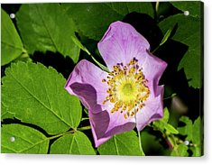Acrylic Print featuring the photograph Alberta Wild Rose Opens For Early Sun by Darcy Michaelchuk