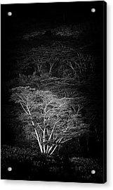 Albezia Tree Acrylic Print