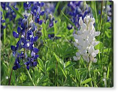 Acrylic Print featuring the photograph Albino And Blue Bluebonnet by Robyn Stacey