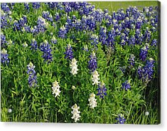 Acrylic Print featuring the photograph Albino And Bluebonnet Field by Robyn Stacey