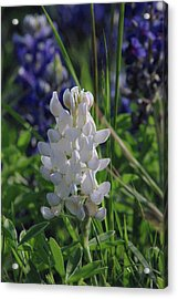 Albino Bluebonnet Acrylic Print by Robyn Stacey