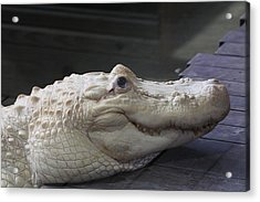 Albino Gator Acrylic Print by Jeanne Andrews