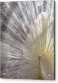 Pure White Peacock Acrylic Print