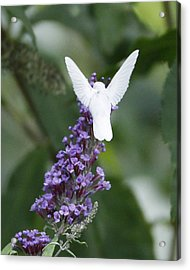 Albino Ruby-throated Hummingbird Acrylic Print by Kevin Shank Family