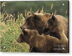 Alert Bear Family Acrylic Print by Tim Grams