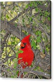 Alert Cardinal Acrylic Print