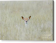 Acrylic Print featuring the photograph Alert Fallow Deer Fawn - Dama Dama - Laying Long In The Long Grass by Paul Farnfield