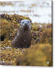 Alert Female Otter Acrylic Print