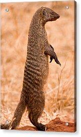 Alert Mongoose Acrylic Print by Adam Romanowicz