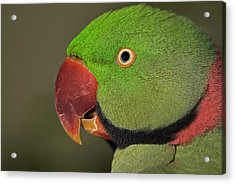 Acrylic Print featuring the photograph Alexandrine Parakeet by JT Lewis