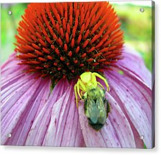 Acrylic Print featuring the photograph Alien Spider Having Lunch by Randy Rosenberger