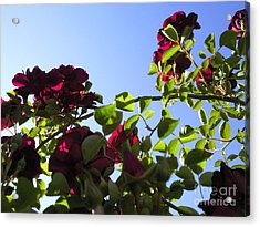 All About Roses And Blue Skies I Acrylic Print by Daniel Henning