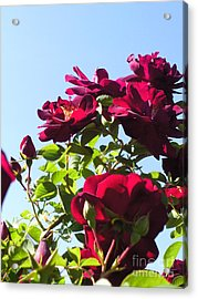 All About Roses And Blue Skies Ix Acrylic Print by Daniel Henning
