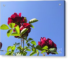 All About Roses And Blue Skies V Acrylic Print by Daniel Henning