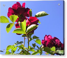 All About Roses And Blue Skies Vi Acrylic Print by Daniel Henning