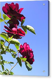 All About Roses And Blue Skies Vii Acrylic Print by Daniel Henning