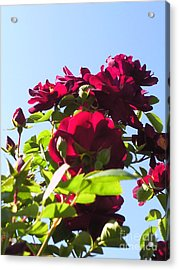 All About Roses And Blue Skies X Acrylic Print by Daniel Henning