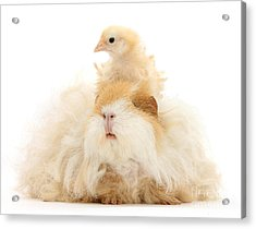 All Frizzed Up And Ready To Go Acrylic Print