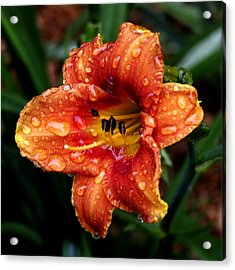 All Wet Lily Acrylic Print by Paul Anderson