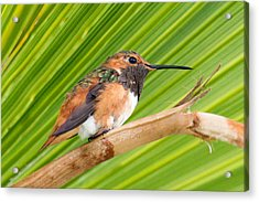 Allen's Hummingbird On Palm Tree Acrylic Print