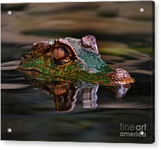 Alligator Above Water Reflection Acrylic Print