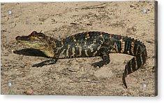 Alligator Baby Acrylic Print by Bruce W Krucke