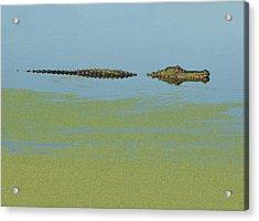 Alligator  Acrylic Print by Carolyn Dalessandro