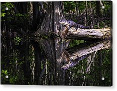 Alligators The Hunt, New Orleans, Louisiana Acrylic Print