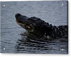 Alligator Eating A Crab Acrylic Print