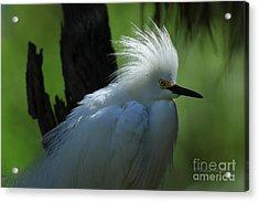 Acrylic Print featuring the photograph Alligator Farm Snowy Egret by Deborah Benoit