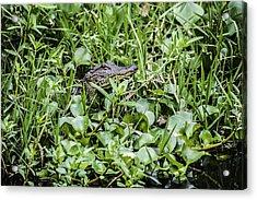 Alligator In Duck Weed, Louisiana Acrylic Print