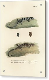 Acrylic Print featuring the drawing Alligator Lizards by Friedrich August Schmidt