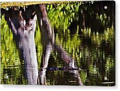 Alligator Acrylic Print by Michael Whitaker