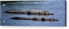 Alligator Pair Acrylic Print by Bruce W Krucke