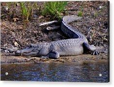Alligator Resting Acrylic Print by Bruce W Krucke