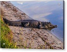 Alligator Warming In The Sun Acrylic Print