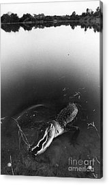 Alligator1 Acrylic Print by Jim Wright