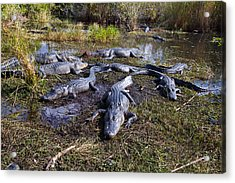 Alligators 280 Acrylic Print