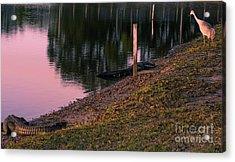 Alligators And Sandhill Crane Acrylic Print