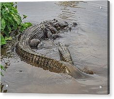 Alligators Courting Acrylic Print
