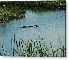 Alligators Acrylic Print by Nereida Slesarchik Cedeno Wilcoxon