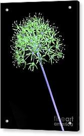 Allium 2 On Black Acrylic Print