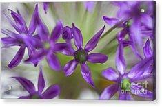 Allium Aflatunense Acrylic Print