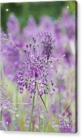 Allium Carinatum Flowering Acrylic Print by Tim Gainey