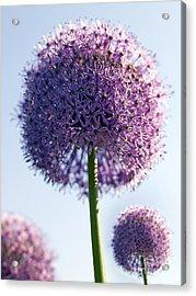 Allium Flower Acrylic Print by Tony Cordoza