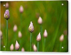 Acrylic Print featuring the photograph Allium Plants by Monte Stevens