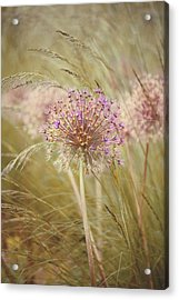Allium Purple Sensation Acrylic Print by Jacky Parker Photography