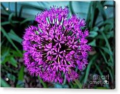Allium Acrylic Print by Robert Bales